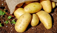 Rané, nebo ranné brambory?