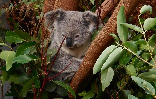 Ten koala, nebo ta koala?