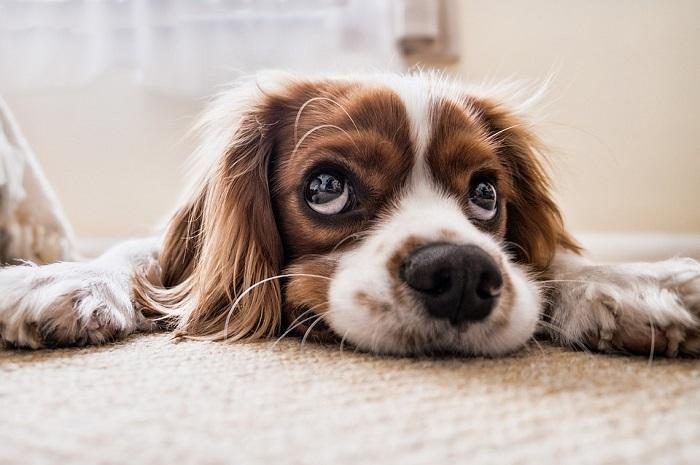 pes (ochočený, tedy pitomý)
